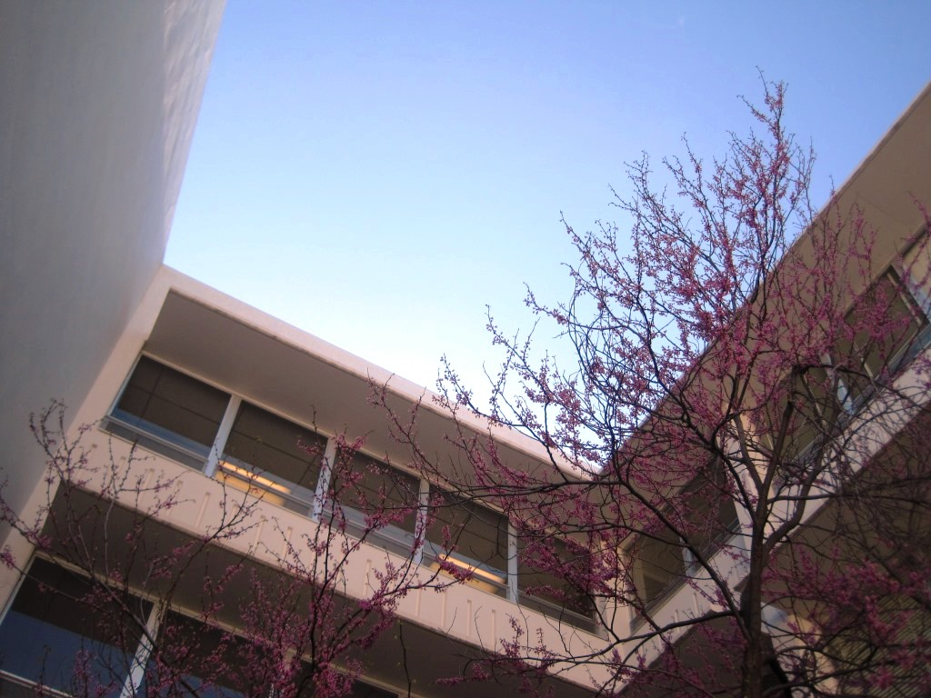 The Eddy Redbud tree is in bloom.
