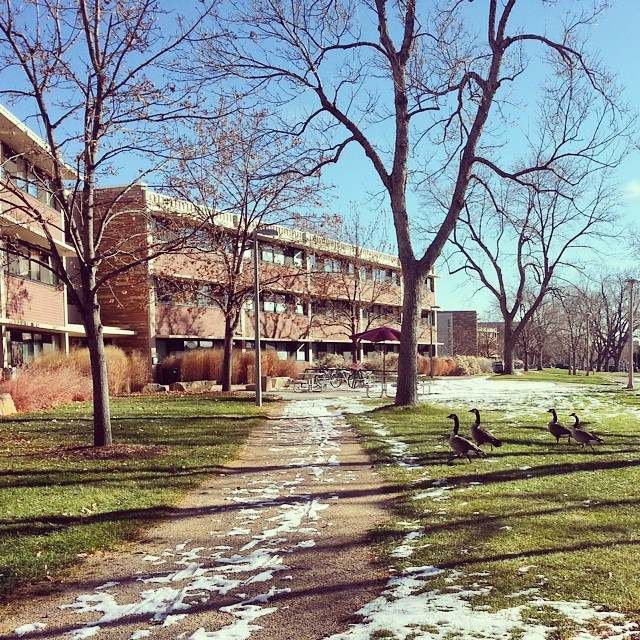 Migrating geese take a break on Ingersoll Hall's front lawn