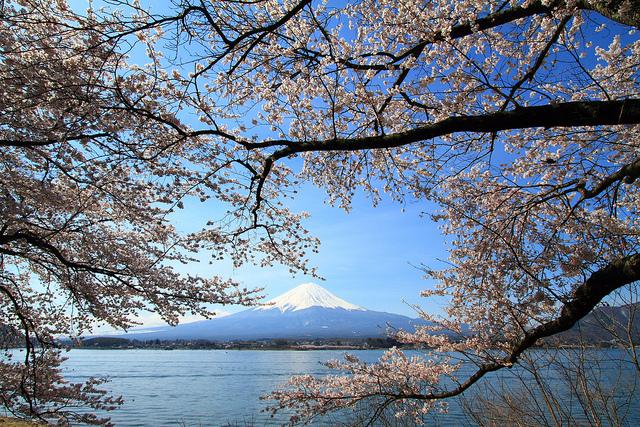 Sakura on Mt. Fuji at Kawaguchi Lake, Yamanashi, Japan (image by skyseeker)