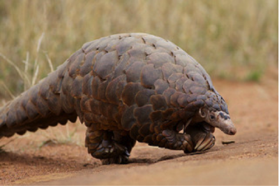 A pangolin. Photo Credit: David Brossard